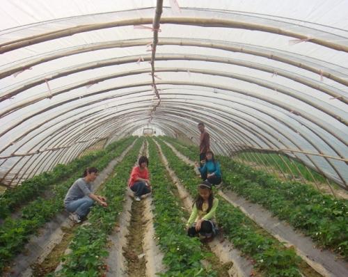 红栌山庄草莓采摘园