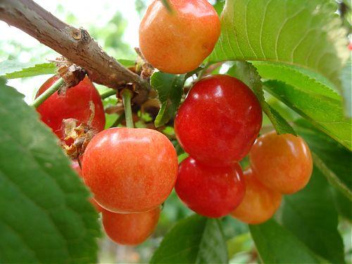 红栌温泉山庄乌克兰樱桃采摘