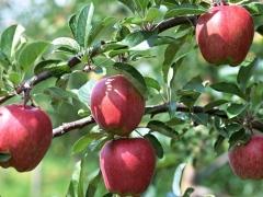 红栌山庄苹果采摘