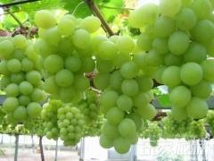 红栌山庄葡萄采摘