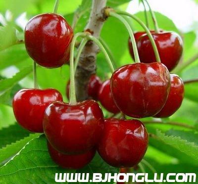 红栌山庄樱桃