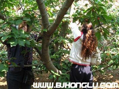 樱桃采摘园景